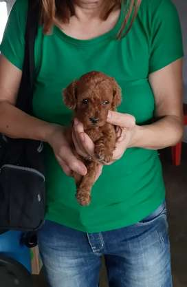 Anak Anjing Red Toy Poodle Imut