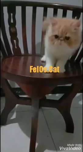 Kucing Kitten Peaknose Betina