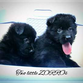 Solid Black GSD pups