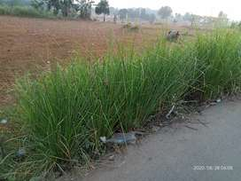 Rumput Penahan Longsor    Vetiver Terbaik Untuk Tebing Rawan Longsor