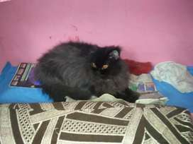 Persian cats only 5999.