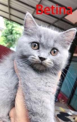 Kucing BSH / British Shorthair pure