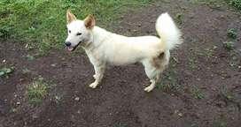 Anjing Kintamani Betina