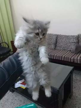 pure persian kitten