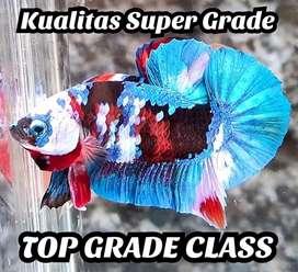 Ikan Cupang Plakat Multi Arwana Red Koi Lohan Giant Nemo Galaxy Avatar