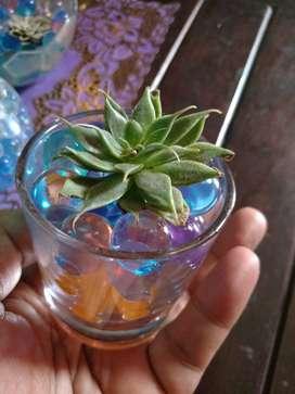 tanaman hias indoor hidrogel