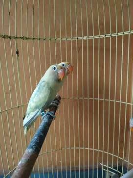 Lovebird pb 2 violet df 2