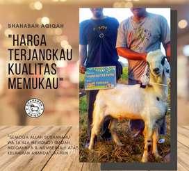Aqiqah Super Kambing Lampung (Nazar, Syukuran, Aqiqah, dan Katering)