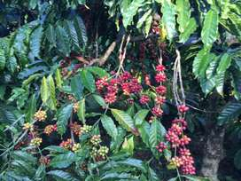 8 acre coffee estate for sale in belur