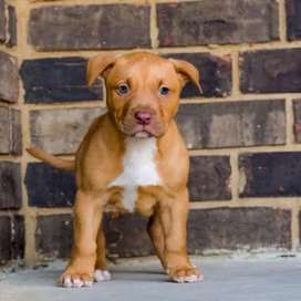 Top quality american pitbull puppies available show lines