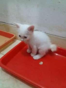 Anggora kitten imut putih ekor bulat