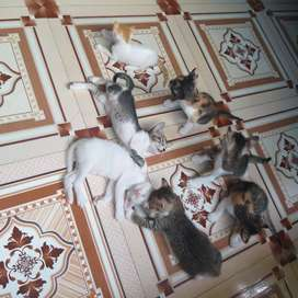 Persian Kittens with family