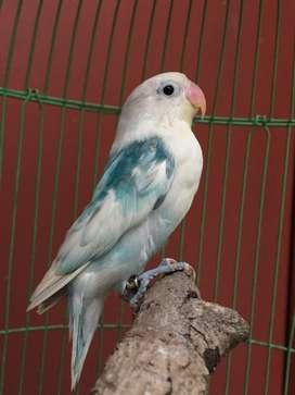 Lovebird lakbet blorok blue ring