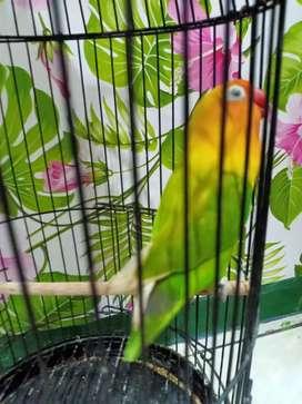 Lovebird prestasi main gaya leherdengklak mewah