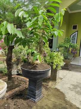 Bonsai pohon wungu
