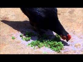 Azolla chicken feed/rabbits/ducks/fishes/goat/cow
