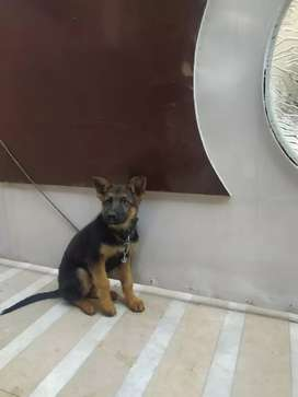 GSD pup for sale. High quality black mask pup. 3 months old.