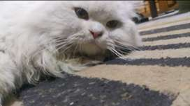 Double coated Persian Cat