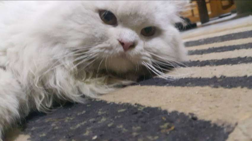 Double coated Persian Cat 0
