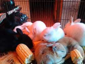 Kelinci anggota umur 2 bulan