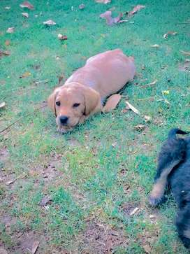 Pure labrador puppy female for sale .
