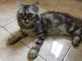 kucing persia betina 1,5 tahun
