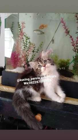 anakan kucing Persia jantan imut comel bulu super panjang