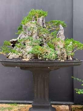 bonsai sancang penjing