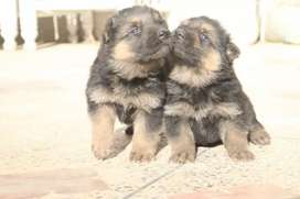 german shepherd puppies 35 days old.