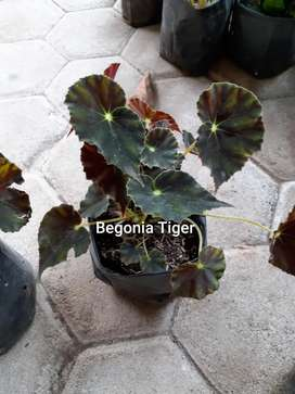 Tanaman Begonia tiger