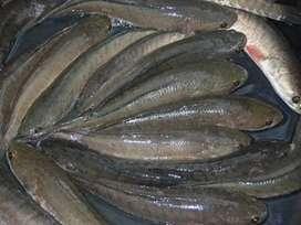 80.000 jual Ikan gabus masih hidup