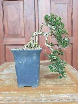 Bonsai serbin micro