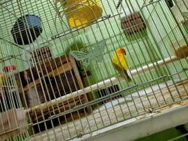 Dijual love bird