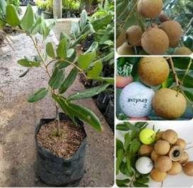 Paket 3 Bibit Kelengkeng Satu Jari, Pimpong, dan Aroma Durian