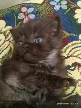 Male nd female Persian two months for sale 5000 each