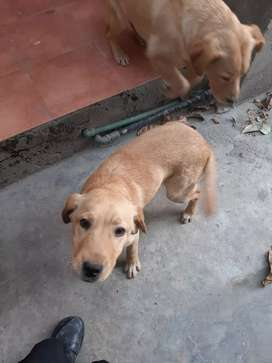 Lab Pair for Sale