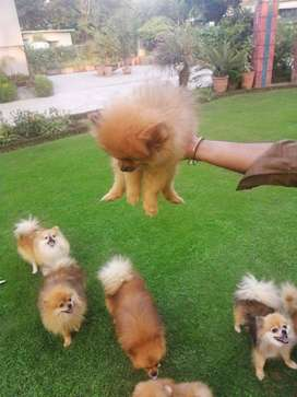 Triple coated Pomeranian Puppies