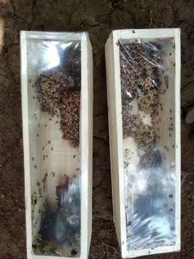 Lebah Penghasil Madu Alami