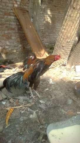 Ayam bangkok birma HERCULES