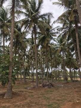 Coconut farm 11 lakh per acer.call me (944/260/59/63)