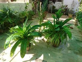6 Home Plant for Sell