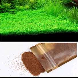 carpet seed small leaf seawed 10gr aquascape
