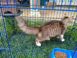 jual kucing persia betina