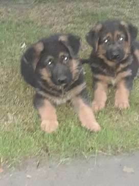 Show quality male pups
