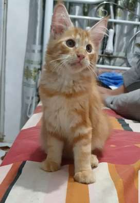 Maine coon pure ped or non ped jantan 4bln