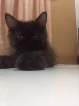 Kucing persia jantan black solid umur 3bln+