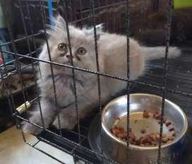 Kucing persia kitten umur 3 bukan berjenis kelamin betina