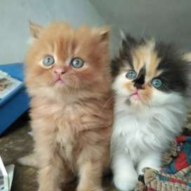 All types of kittens and cat PERSIAN HIMALAYAN SIAMESE KITTEN'S