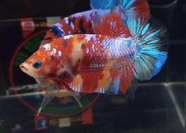 Ikan cupang nemo rainbow grade