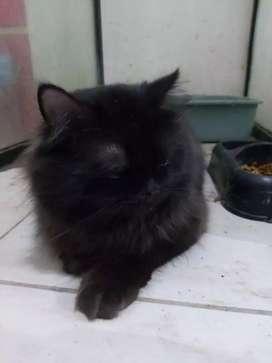 Kucing gimbul sehat lincah